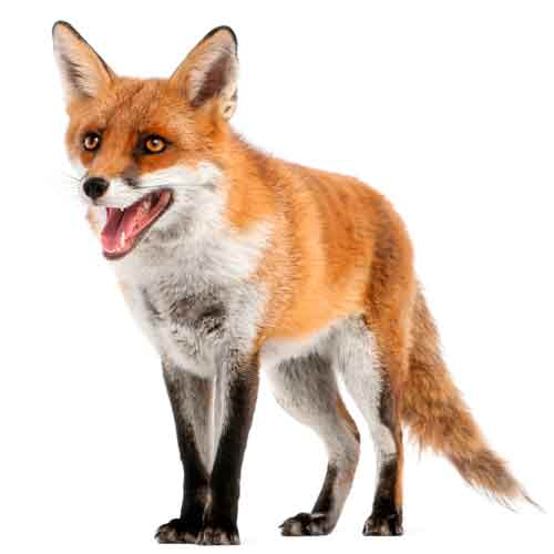 3 Letter words answer: FOX