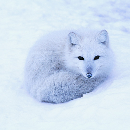 Animal Planet answer: POLARFUCHS
