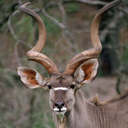 Animal Planet answer: KUDU