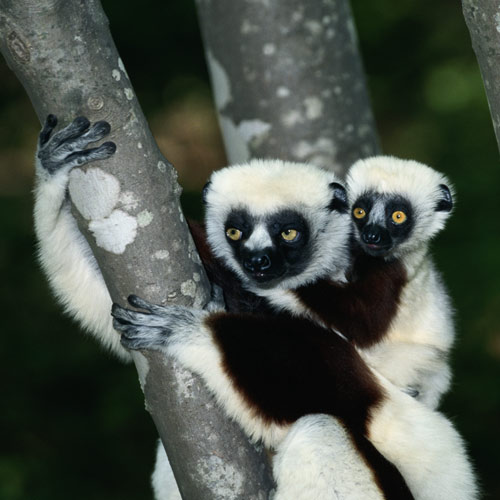 Animal Planet answer: LEMUR