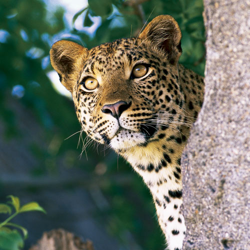 Animal Planet answer: LEOPARD