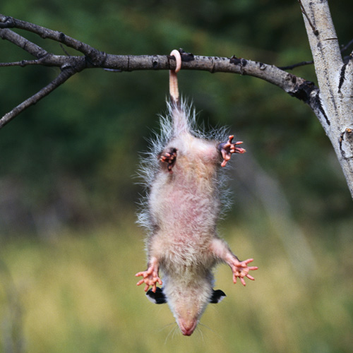 Animal Planet answer: OPOSSUM