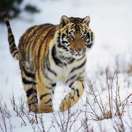 Animal Planet answer: TIGER