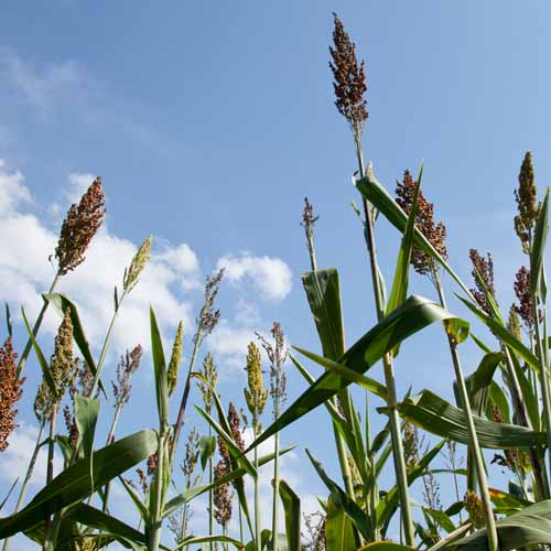 Auf der Farm answer: SORGHUM