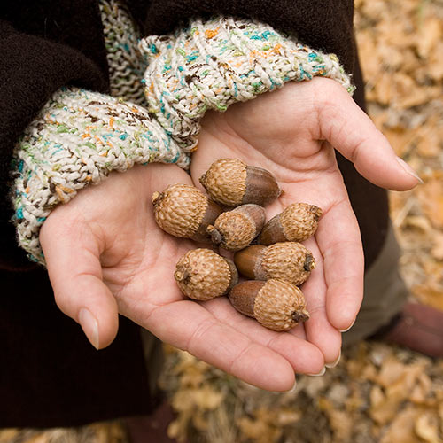 Autumn answer: ACORNS