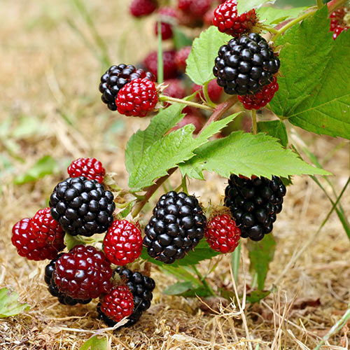 Autumn answer: BLACKBERRIES
