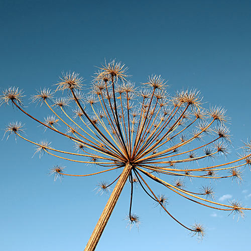Autumn answer: HOGWEED