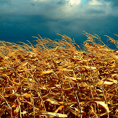 Autumn answer: MAIZE
