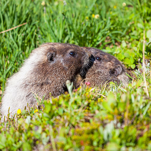 Autumn answer: MARMOTS