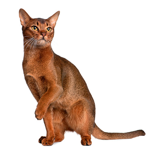 Cats answer: ABYSSINIAN