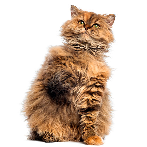 Cats answer: SELKIRK REX
