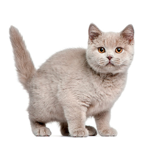Cats answer: SHORTHAIR