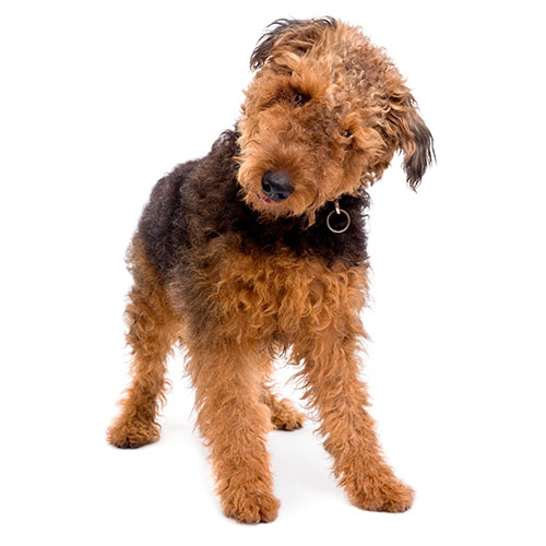 Dog Breeds answer: AIREDALE
