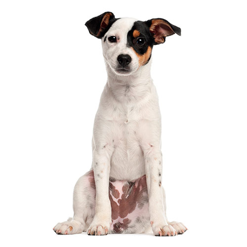 Dog Breeds answer: JACK RUSSELL