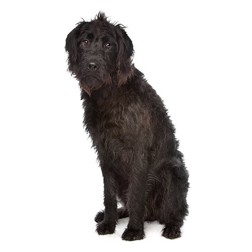 Dog Breeds answer: LABRADOODLE