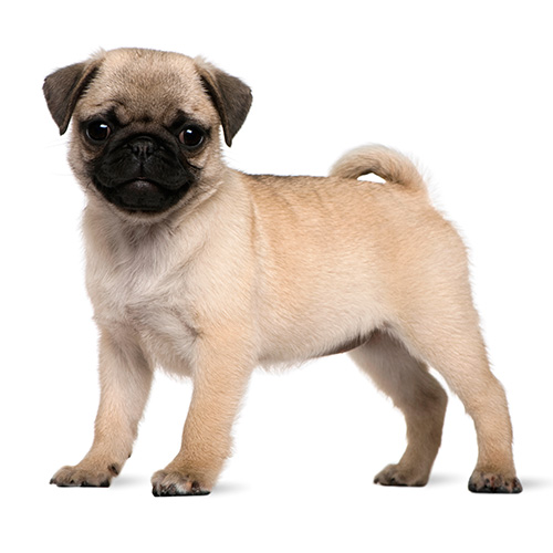 Dog Breeds answer: MOPS