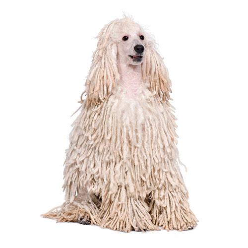 Dog Breeds answer: WHITE CORDED