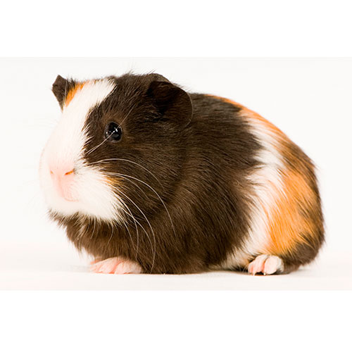 Haustiere answer: GUINEA PIG