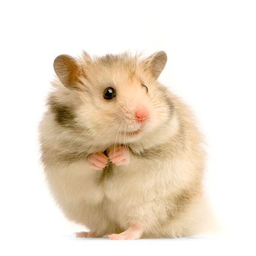 Haustiere answer: HAMSTER