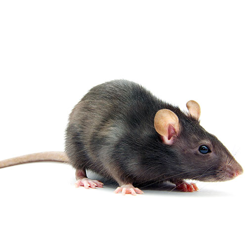 Haustiere answer: RATTE