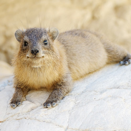H is for... answer: HYRAX