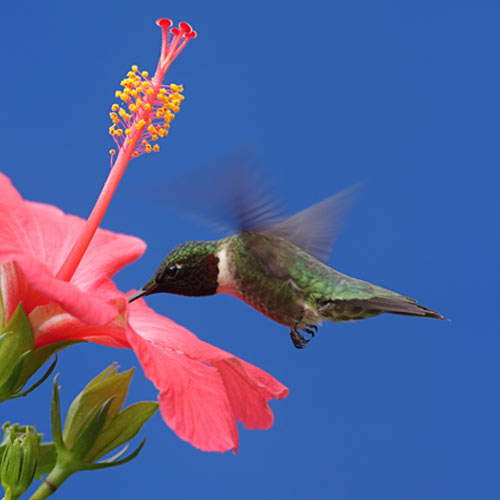 H is for... answer: HUMMINGBIRD