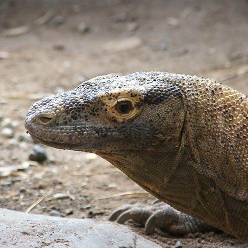 K is for... answer: KOMODO