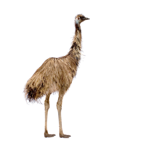 3 Letter words answer: EMU