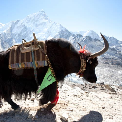 3 Letter words answer: YAK