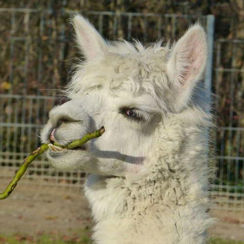 A is for... answer: ALPACA