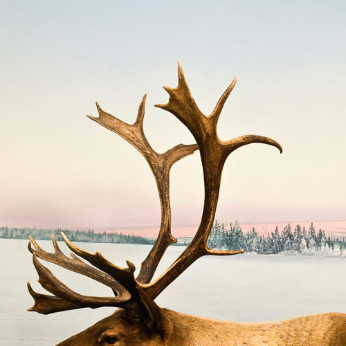A is for... answer: ANTLERS