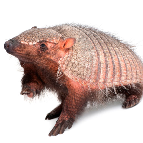 A is for... answer: ARMADILLO