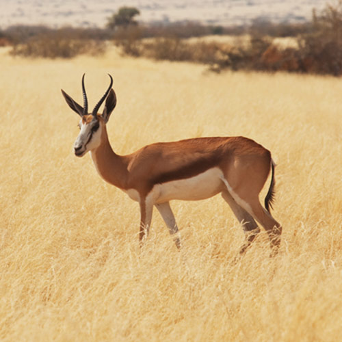 A is for... answer: ANTELOPE