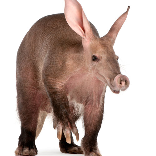 A is for... answer: AARDVARK