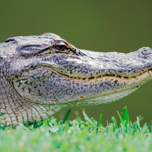 A is for... answer: ALLIGATOR