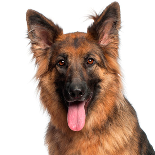A is for... answer: ALSATIAN