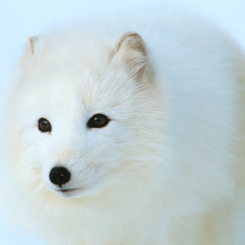 A is for... answer: ARCTIC FOX