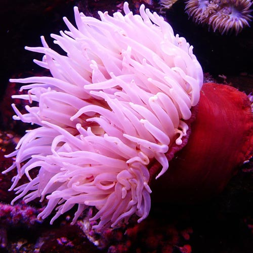 A is for... answer: ANEMONE