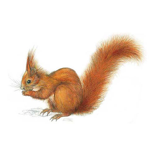 Animal Kingdom answer: RED SQUIRREL