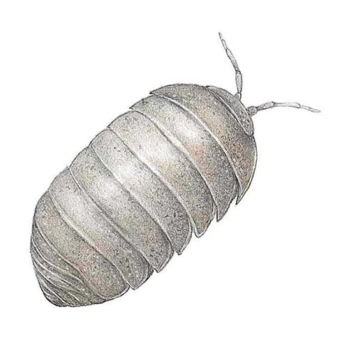 Animal Kingdom answer: WOODLOUSE