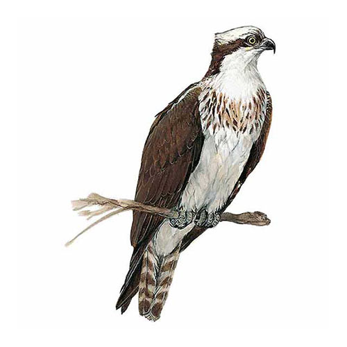 Animal Kingdom answer: OSPREY