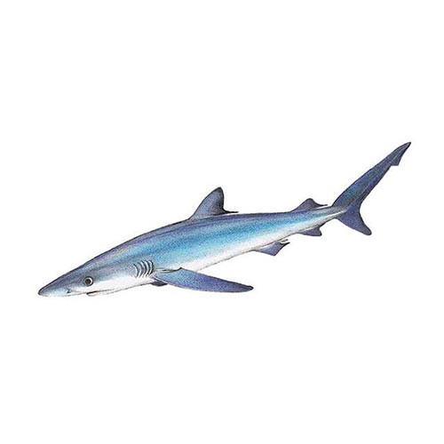 Animal Kingdom answer: BLUE SHARK