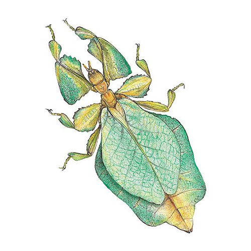 Animal Kingdom answer: LEAF INSECT
