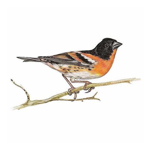 Animal Kingdom answer: BRAMBLING
