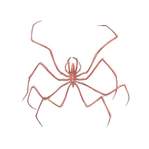 Animal Kingdom answer: SEA SPIDER