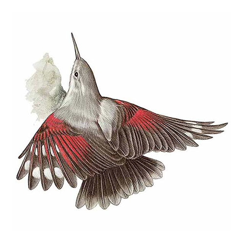 Animal Kingdom answer: WALLCREEPER