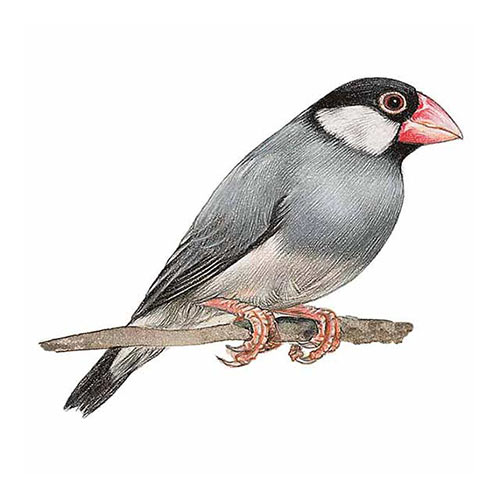 Animal Kingdom answer: JAVA SPARROW