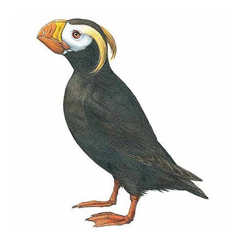 Animal Kingdom answer: TUFTED PUFFIN