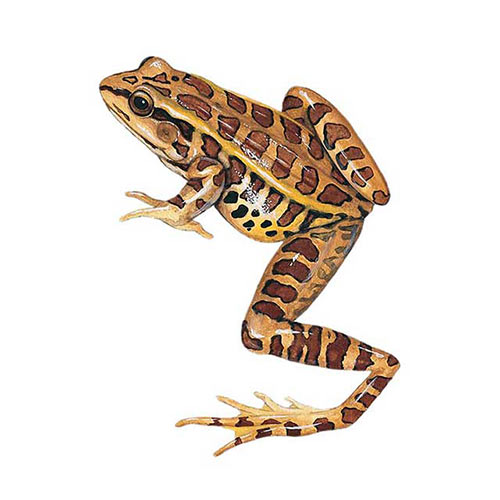 Animal Kingdom answer: PICKEREL FROG