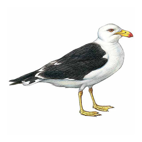 Animal Kingdom answer: PACIFIC GULL
